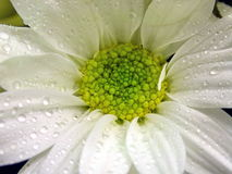 White Daisy. A closeup photo of white daisy flower with dew drop Stock Image