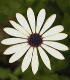 White daisy. Close-up of a white daisy outdoors Stock Photos