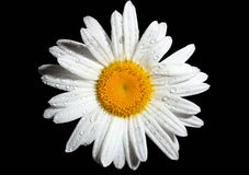 White daisy Royalty Free Stock Image
