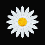 White daisy. Illustration of a white gerber daisy Stock Images