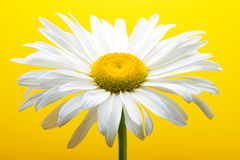 Free White Daisy Stock Photos - 2910723