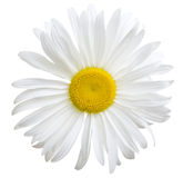 White daisy Royalty Free Stock Photography