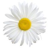 White daisy royalty free stock photography
