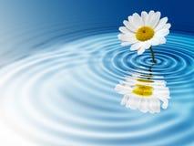 White daisy. On blue rippled background Stock Image