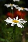White daisy. Big white daisy royalty free stock photo