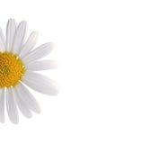 White daisy. The white daisy over white royalty free stock image