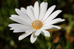White daisy. On blurred background Royalty Free Stock Photography