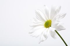 White daisy. Macro in highkey Royalty Free Stock Images