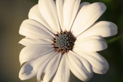 White Daisy. With grey and brown centre stock photography