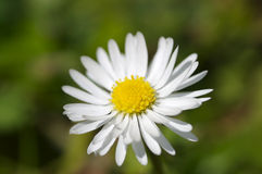 White daisy. Isolated white daisy Stock Images