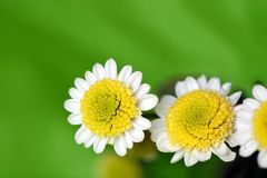 White daisy. On the green background Stock Images