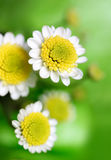 White daisy. On the green background Royalty Free Stock Image