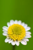 White daisy. On the green background Royalty Free Stock Photo