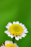 White Daisy. On the green background Stock Photo