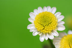 White daisy macro. White daisy with water drops on the green background Royalty Free Stock Images