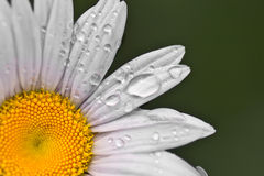 White Daisy. With water drops on a green background Royalty Free Stock Image