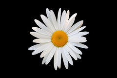 White daisy against black background Royalty Free Stock Photography