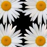 White daisy against black background Stock Photo