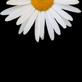 White daisy against black background Stock Photos