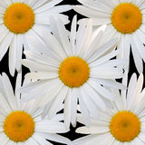 White daisy against black background Stock Photo