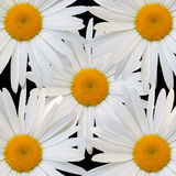 White daisy against black background Stock Images