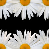 White daisy against black background Stock Photography