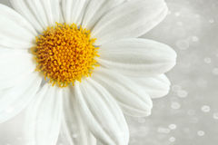 White daisy against a blur background Royalty Free Stock Images