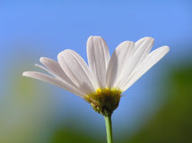 White daisy against clear blue sky Royalty Free Stock Photos