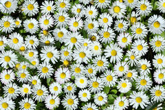 White daisy background Royalty Free Stock Images