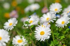 White daisy background Stock Images