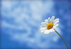 White daisy on a background of clouds. White daisy on a background of white clouds Royalty Free Stock Images