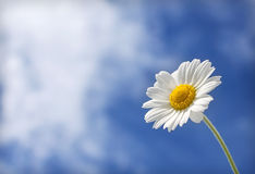 White daisy on a background of clouds. Daisy flower reaches for the sun in the background of clouds Royalty Free Stock Image