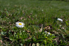White daisy on a background of green grass Royalty Free Stock Photo