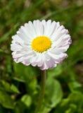 White daisy (Bellis) Royalty Free Stock Photo
