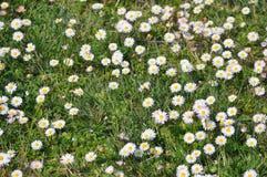 White daisy flower. White daisy (Bellis Perennis) aka Common daisy or Lawn daisy or English daisy flower stock photos