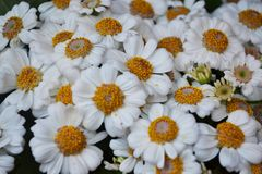 The white daisy Bellis perennis Royalty Free Stock Image