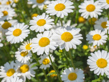 White Daisy or Bellis perennis. White Daisy or Bellis perennis, flower are blossumed in garden when sun shine Royalty Free Stock Images