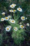 White daisy 2 Stock Image