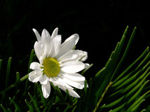 White Daisy, Black Background. A single white daisy on a black background Royalty Free Stock Images