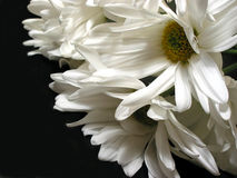White daisy on black background stock photos