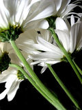 White daisy on black background Royalty Free Stock Image