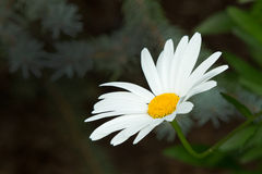 White daisy on black background Royalty Free Stock Images
