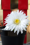 White Daisy In Black Flower Pot Royalty Free Stock Photos
