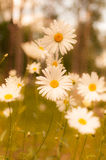 White Daisy in Bloom Stock Image