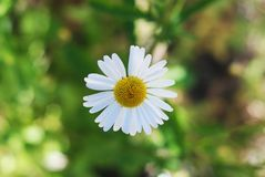White Daisy Bloom Camomile Flowers Close Up in Summer Garden Blurred Green Background with Copy sapce. White Daisy Bloom Camomile Flowers Close Up in Summer royalty free stock photo