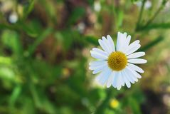 White Daisy Bloom Camomile Flowers Close Up in Summer Garden Blurred Green Background with Copy sapce. White Daisy Bloom Camomile Flowers Close Up in Summer royalty free stock image