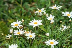 White daisy blooming in garden stock images