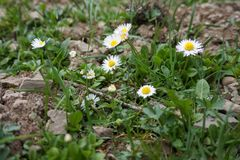White daisy blooming on the rocks.  royalty free stock photos