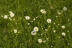 Nature background with blossoming daisy flowers close up in sunny day. royalty free stock image