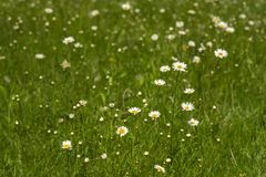 Nature background with blossoming daisy flowers close up in sunny day. royalty free stock photo